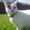 Magnetic Cat Collar with Bell and Safety Release elastic.